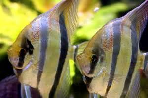 Fish File  Silver Angelfish