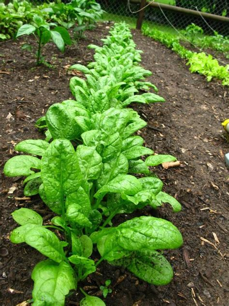 garden vegetables list 25 best ideas about growing spinach on easy