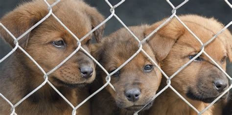 puppy mill definition how to recognize puppy mills nothing but dogs