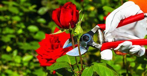 tips  pruning roses   pro gardeners path