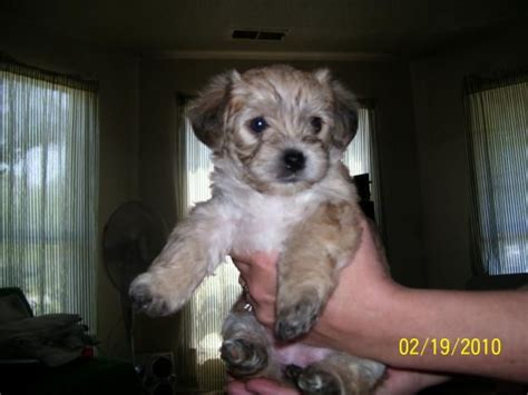 teacup yorkie poo for sale in nc 1000 ideas about yorkie poo puppies on yorkie puppies small dogs