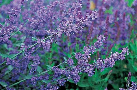 Top 10 Purple Plants For Your Flower Garden Birds And Blooms Purple Flowered Plants For The Garden