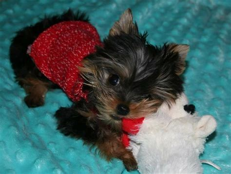 teacup yorkie puppies for sale michigan 322 best priceless yorkie puppy images on