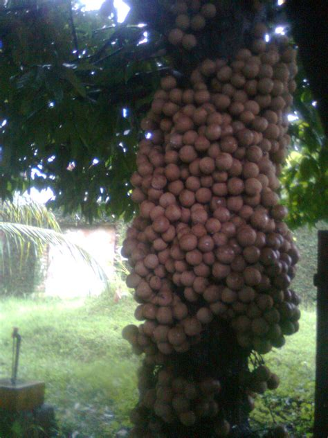 Bibit Jambu Air Coklat nusantaraku buah kepel stelechocarpus burahol kegemaran