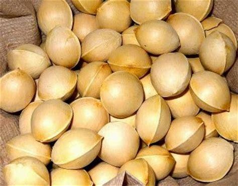 Obat Antibiotik Untuk Batuk Kronis mengenal antibiotik alami ginkgo bai guo tanaman
