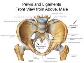 pelvic area pictures anatomy of the pudendal nerve health organization for