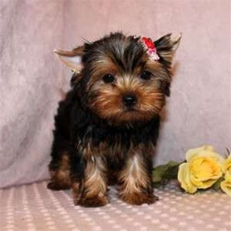 cup yorkies for sale teacup yorkie puppies for sale in cadillac