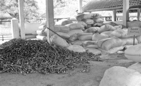 Jual Starbio Plus Di Medan singkong untuk ransum sapi berprotein tinggi