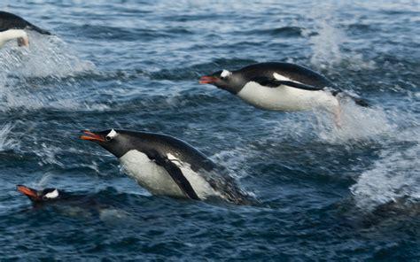 Antarctica 10: flying penguins