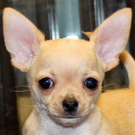 chihuahua for sale chihuahua puppy for sale in boca raton south florida
