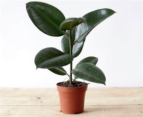 Tanaman Hias Karet Hias manfaat daun karet kebo untuk penyakit kronis dan kewanitaan