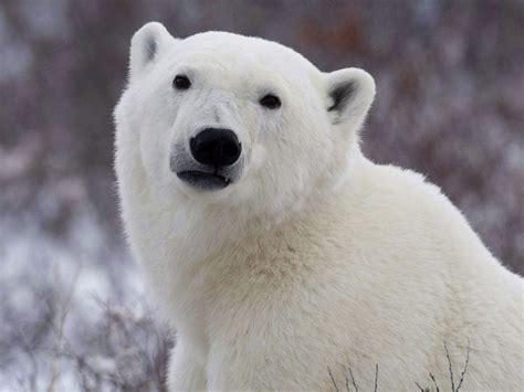 details emerge  polar bear death hunters huddled
