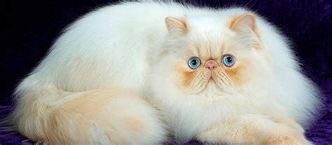 gambar gambar lucu kucing apps directories