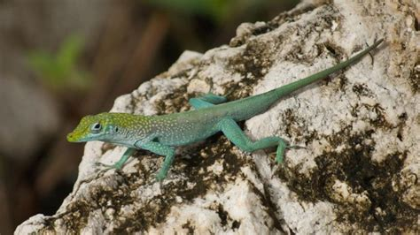 what do backyard lizards eat what food do lizards eat reptile gallery