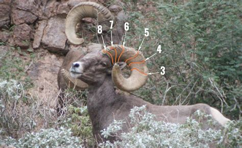 age of ram how to accurately age bighorn sheep gohunt