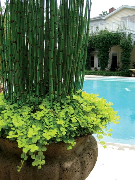 4 In Horsetail Reed Potted Bog Marginal Pond Plant Bp Horsetail Reed The Home Depot » Home Design 2017