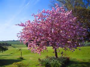 blossoming tree by kaytoo dreamer on deviantart
