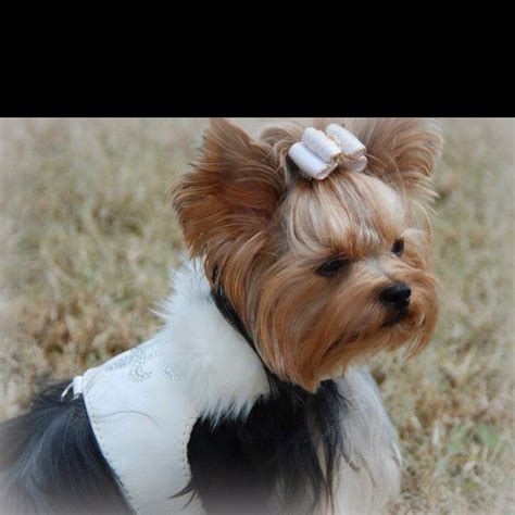 yorkies with bows 17 best images about pups mainly teacup yorkies on animal photos