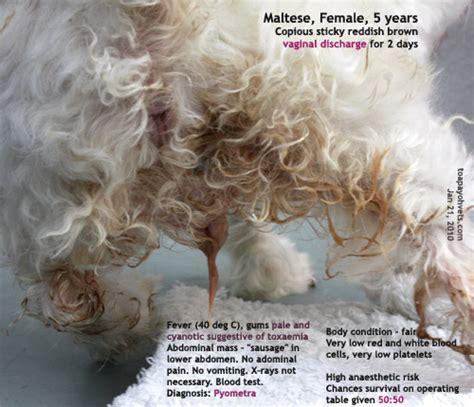 vaginitis in dogs anaesthesia neutering rabbit