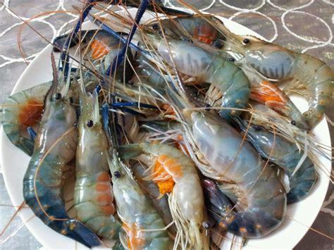 Benih Lobster Air Tawar Sabah penternakan udang galah myagri my