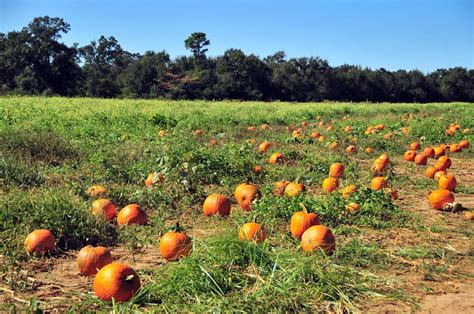 christmas tree farms pensacola pumpkin patch at farms domestic