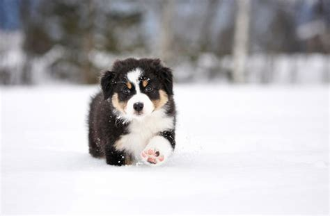 to the snow dogs australian shepherd puppy in the snow aussie dogs in the o
