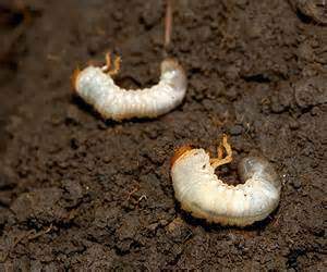 Stop Grubs In Your Lawn Curl Grubs In Vegetable Garden