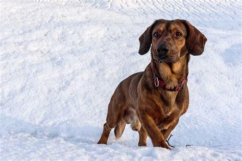 Alpine Dachsbracke Dog » Information, Pictures, & More