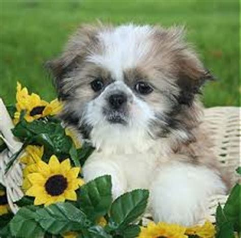 shih tzu care sheet shih tzu puppies care tips and guide kanineklub