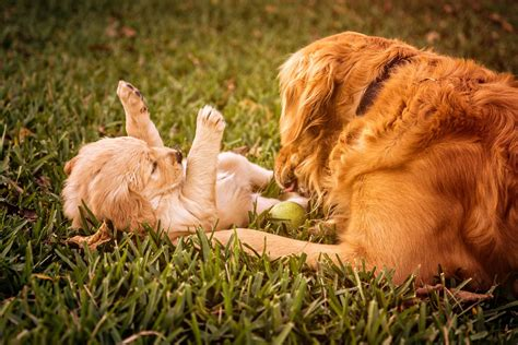 golden retriever puppy commercial free photo puppy golden retriever free image on pixabay 823190