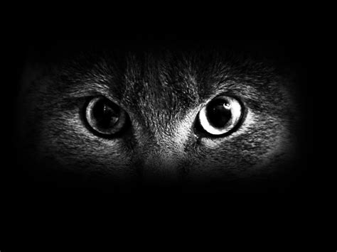 wallpaper cat night black eyes wallpaper