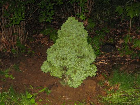 types of evergreen trees pictures to pin on pinterest
