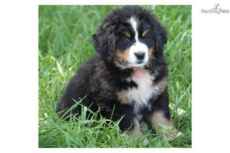 bernese mountain puppy for sale near sioux city iowa be7a5dfc c661 bernese mountain puppy for sale near sioux falls se sd south dakota 2e25926b 5ac1