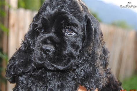 puppies for sale missoula montana twinkle cocker spaniel puppy for sale near missoula montana 36f2bcc8 0241