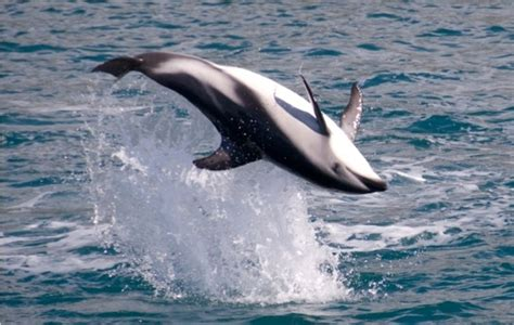 jump boat definition private tours viewing dolphins at akaroa whales at