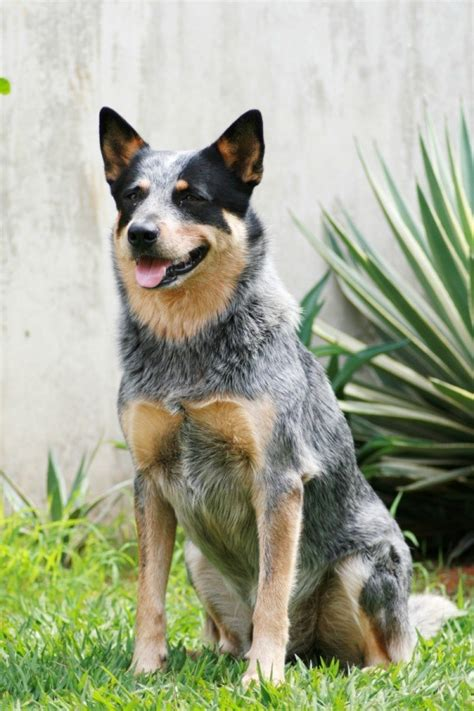 blue heeler dogs australian cattle breed information and photos thriftyfun