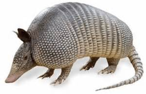 Armadillo facts 20 interesting facts about armadillos