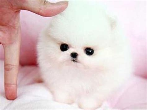 teacup pomeranians sale indiana teacup pomeranian puppies for sale in johannesburg zoe fans baby animals