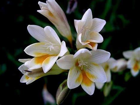 imagenes de flores nardos 3091138926 ffc6b6e159 jpg