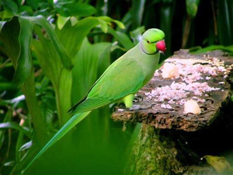 Feeding Parrot sri Lanka Mala Girawa More Photographs On