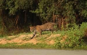 A Jaguars Habitat 10 Amazing Jaguar Facts Discover Wildlife