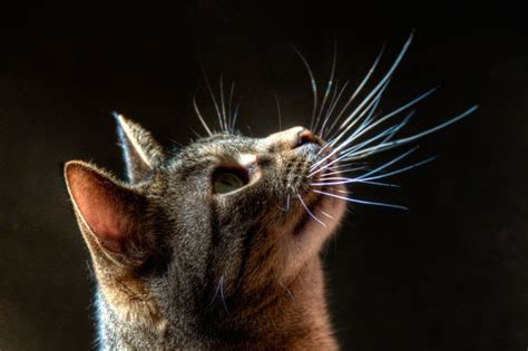 cat whiskers a cat s use of touch nose paws whiskers