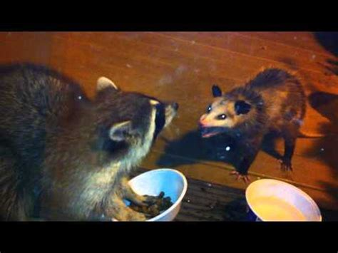 raccoon vs raccoon vs cat viral track funnydog tv