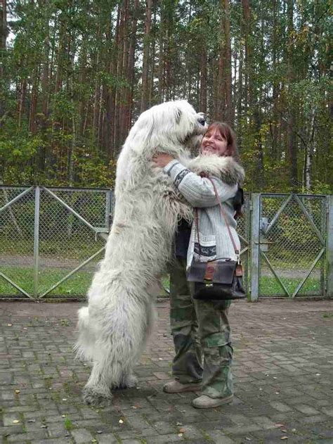 russian puppies 12 best images about russian on big teddy search