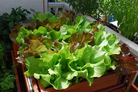 container gardening vegetables selecting vegetables