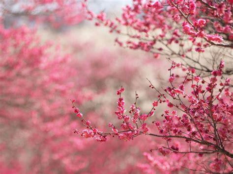 cherry blossom desktop wallpapers wallpaper cave cherry blossom desktop backgrounds wallpaper cave