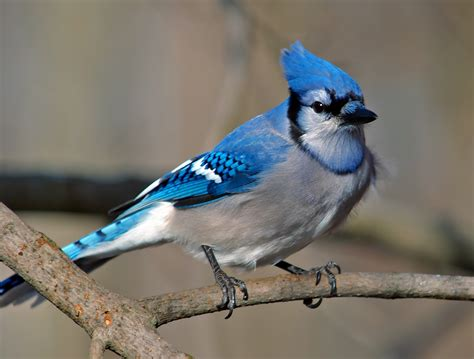 blue jay images wild birds wild animal and birds
