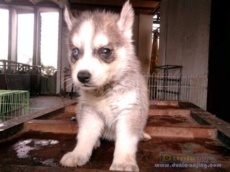 Jual Masker Mata Surabaya dunia anjing jual anjing siberian husky anakan husky