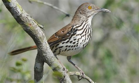 long billed thrasher birds of north america online