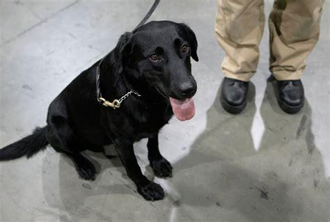 tsa puppies the tsa puppy program creating future bomb squads america comes alive